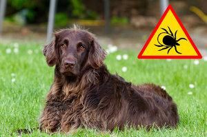 Odstranění klíštěte u psa nebo kočky